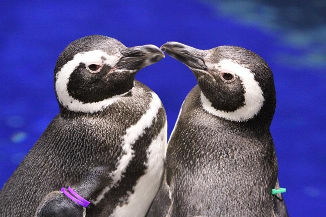ペンギンの画像 p1_5