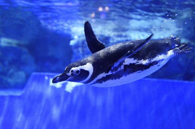 水の中を泳ぐペンギン