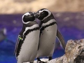 ペンギンたちの恋模様にほっこり♪「恋する水族館。Sweet Penguins」を開催!