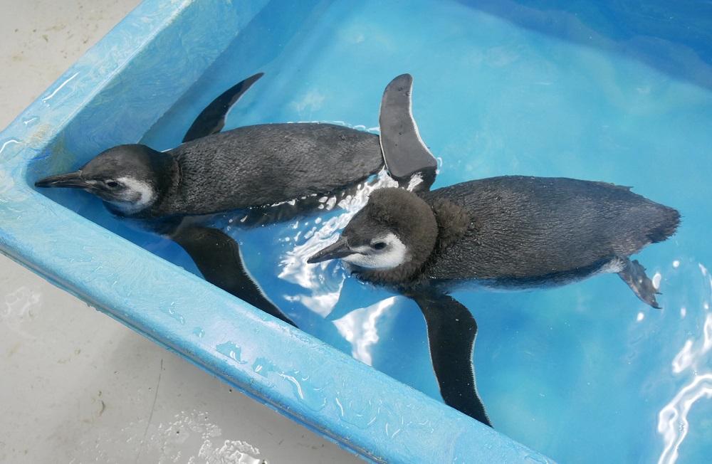 ペンギンの赤ちゃんの展示プールデビューイベント「すみだペンギンウィーク」を開催!