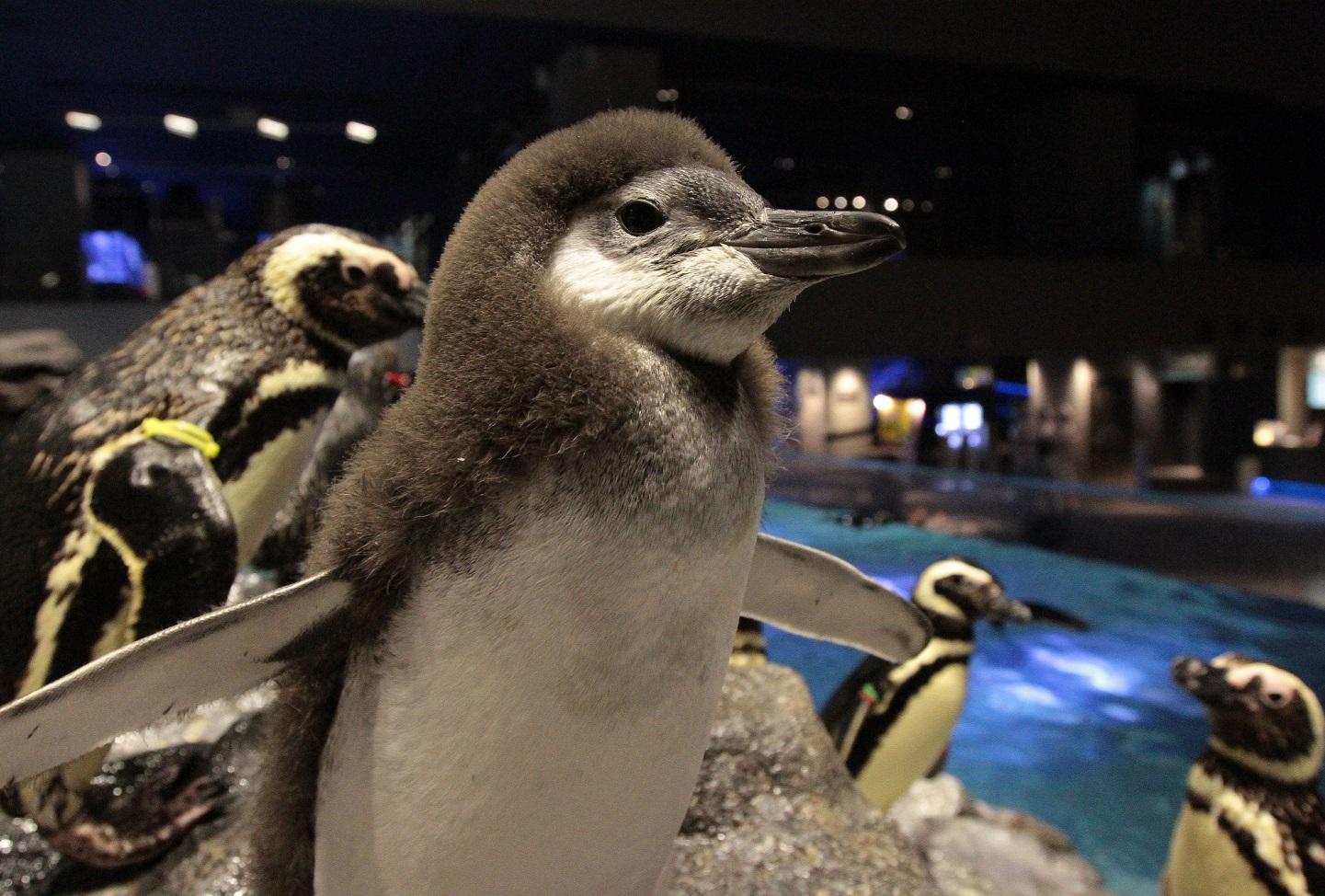 3羽目のペンギン赤ちゃんがペンギンプールに仲間入り!プールデビューのお知らせ